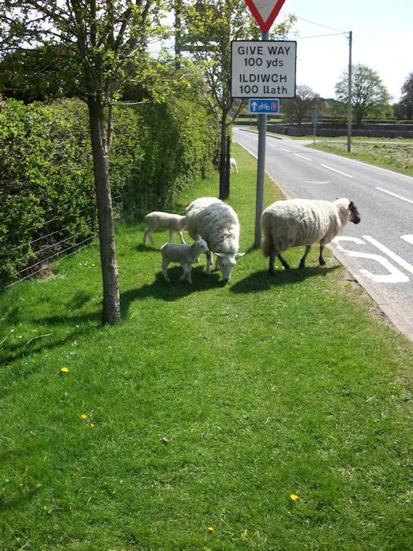 Sheep on the road in Brynford